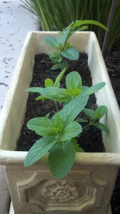 Businesses are like plants. This mint started out small, but a month later, looks at how much it grew!